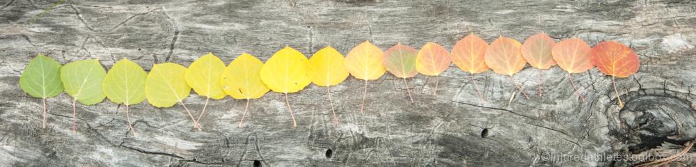 Aspen leaf rainbow